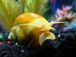 Как вылечить аквариумных улиток
