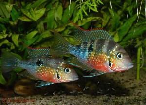 Неприхотливая рыбка цихлазома элиота