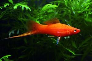 Удивительные рыбки меченосцы, их содержание и уход