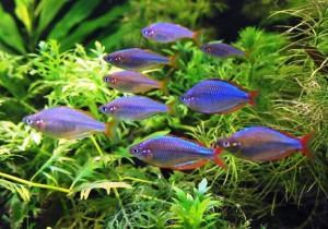 Радужница неоновая: аквариумная рыбка для вас, содержание и уход