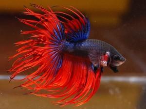 Красивые аквариумные рыбки Петушки, содержание и уход за ними