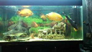 Аквариумная рыбка Сом клариус: секреты содержания и ухода