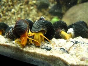 Аквариумная улитка Мариза: советы по содержанию и размножению