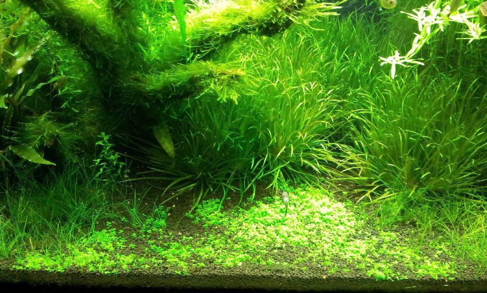 Растение Хемиантус Куба: содержание и уход этого замечательного растения  в аквариуме