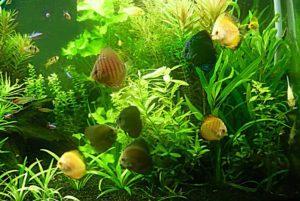 Популярное аквариумное растение гигрофила иволистная, особенности его содержания