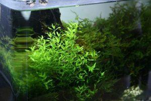 Прекрасное аквариумное растение хемиантус микрантемоидес