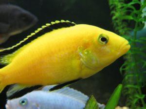 Замечательная рыбка лабидохромис еллоу - самая спокойная в семействе Цихлид