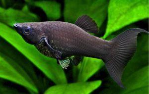 Живородящая рыбка Моллинезия: как содержать и получить потомство?