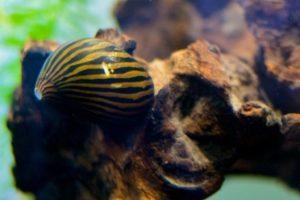 Популярная аквариумная улитка Неретина