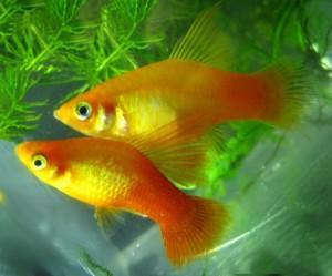 Аквариумные рыбки пецилии, рассмотрим какой уход и содержание им требуется?