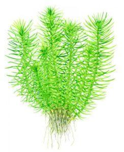 Аквариумное растение индийского происхождения погостемон эректус