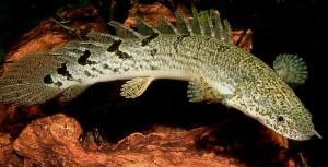 Интересная рыбка полиптерус сенегальский, с доисторическим видом в вашем аквариуме