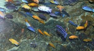 Активная рыбка Псевдотрофеус демасони в вашем аквариуме