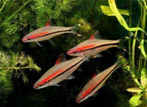 Непростая и прихотливая в содержании: аквариумная рыбка Барбус денисони!