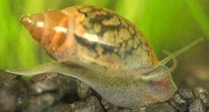 Физа: самый распространенный вид аквариумных улиток, секреты содержания