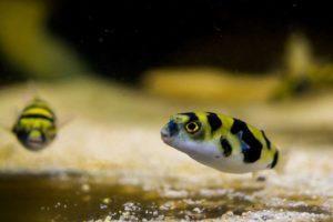 Рыбка с характером - Карликовый Тетрадон. Секреты содержания и ухода