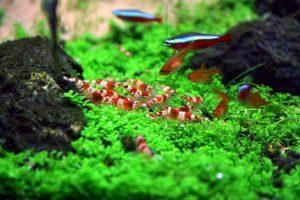 Красивые креветки Красный кристалл для вашего аквариума!