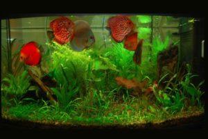 Вьетнамка в вашем аквариуме: как избавится от этой напасти?
