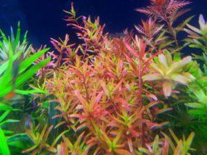 Ротала индийская: растение для новичка или профессионала?