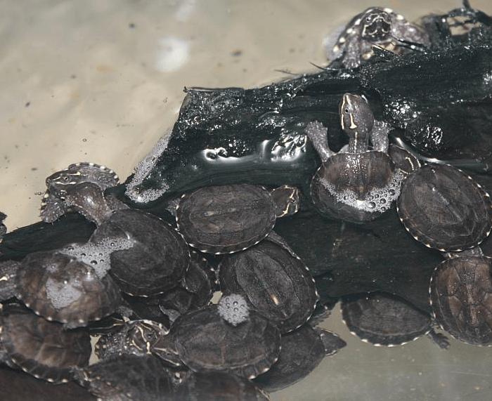 Размножение мускусных черепах