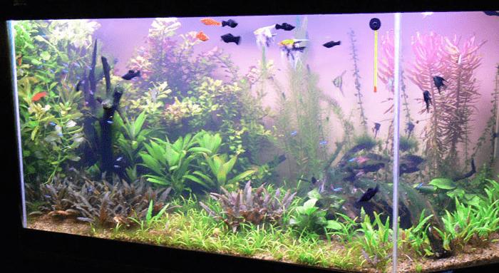 криптокорина вендта в аквариуме