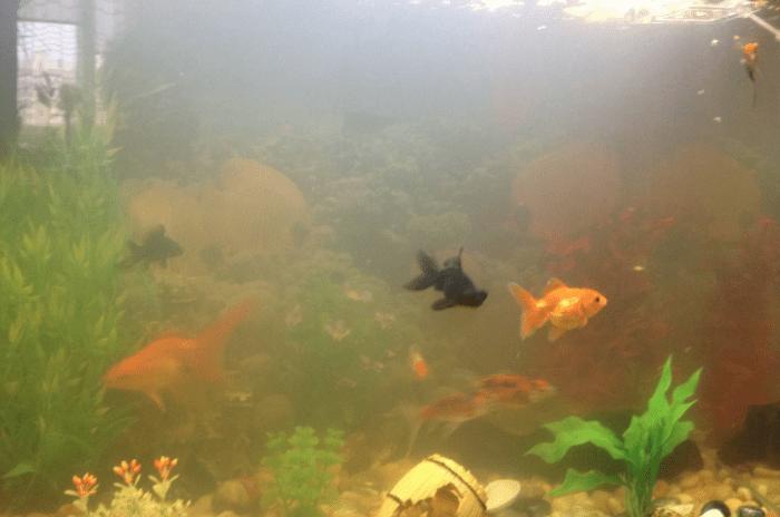 помутневшей водой в аквариуме