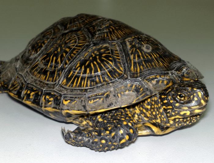 водных черепах