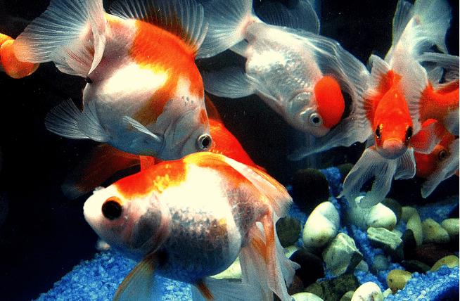золотых рыбок