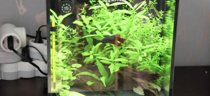 аквариум с петушком