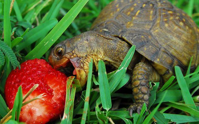 Кормление всеядных черепах