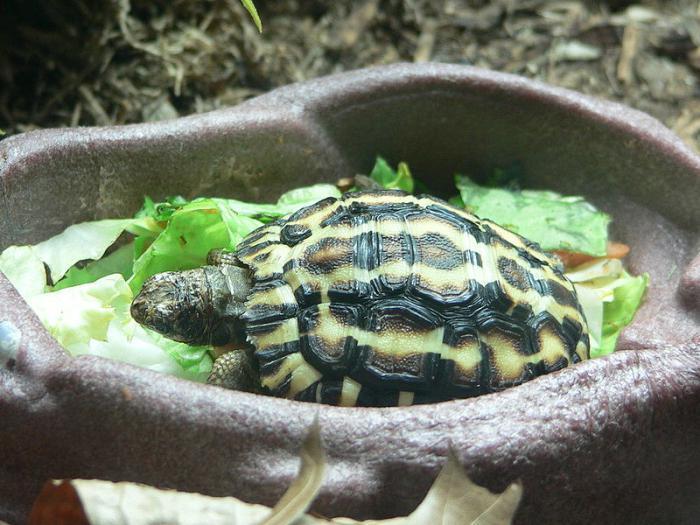 Что едят черепахи в домашних условиях