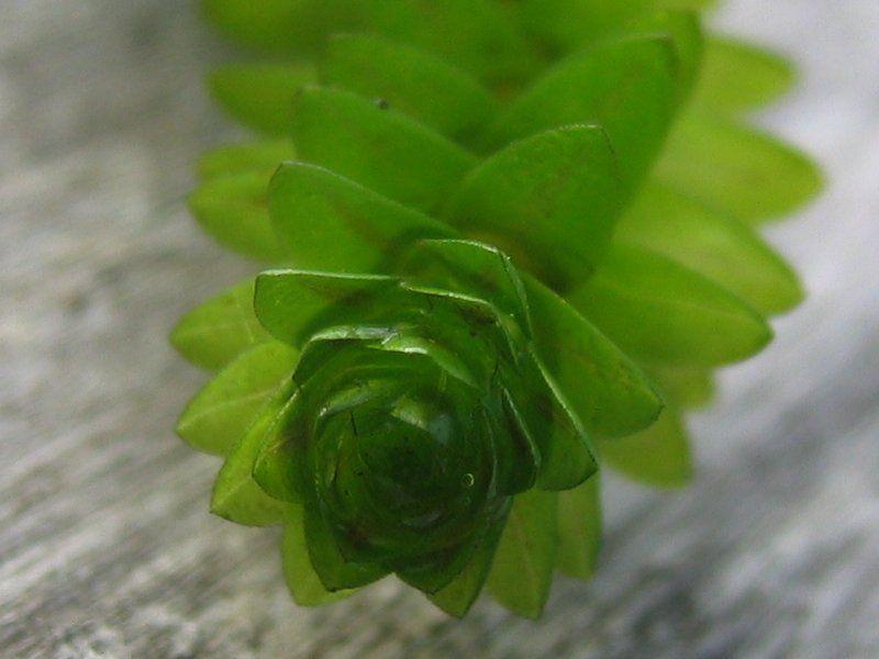 Элодея канадская: водное растение для вашего аквариума!