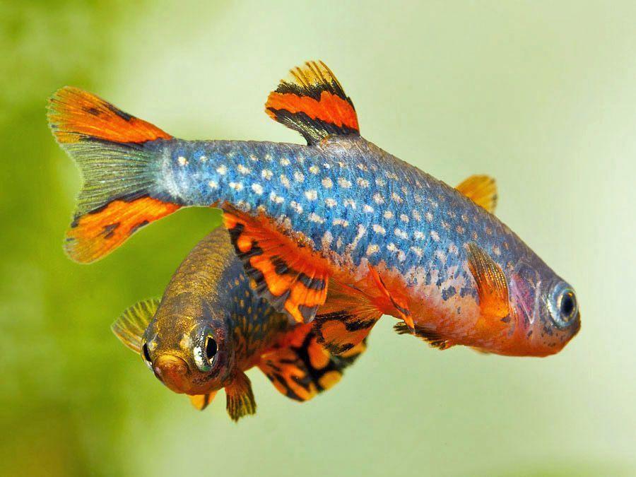Маленькая и яркая рыбка Микрорасбора галактика в вашем аквариуме!