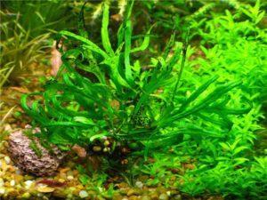 Папоротник Таиландский: популярное и неприхотливое аквариумное растение!