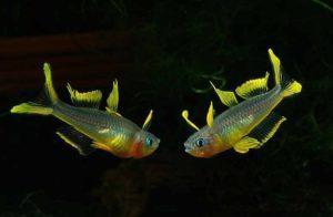 Маленькая и красивая рыбка Попондетта фурката в вашем аквариуме!