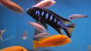 Аквариумная рыба Псевдотрофеус элонгатус мпанга: секреты содержания и ухода!