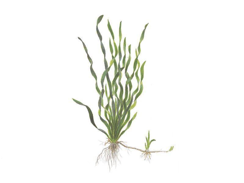 Неприхотливое и привлекательное аквариумное растение Валлиснерия Спиральная!