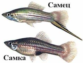 Рыбки зеленый меченосец: как содержать и ухаживать