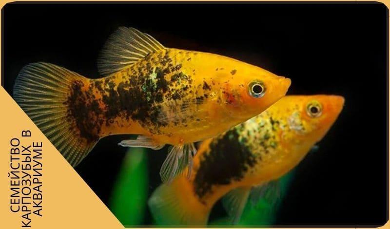 Пецилия рыбка карпозубая